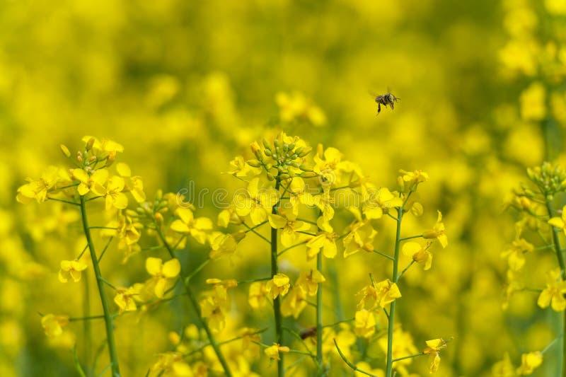 La abeja está volando sobre el campo de la rabina foto de archivo libre de regalías