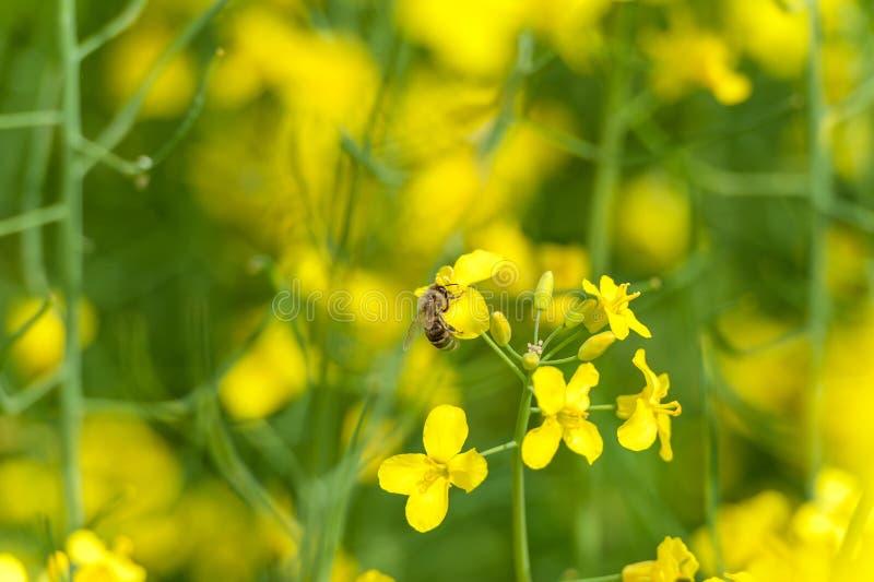 La abeja está volando sobre el campo de la rabina fotografía de archivo