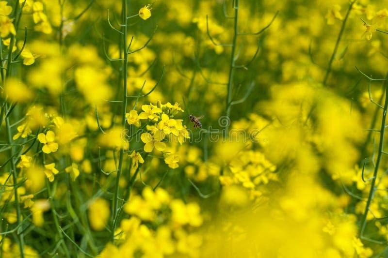 La abeja está volando sobre el campo de la rabina Fondo borroso imagen de archivo libre de regalías