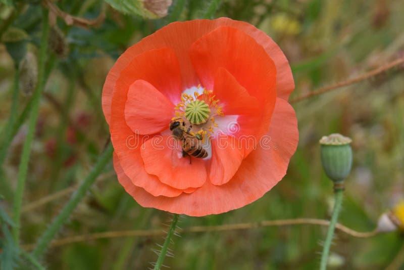 La abeja forrajea en la amapola anaranjada 05 de Flandes imagenes de archivo