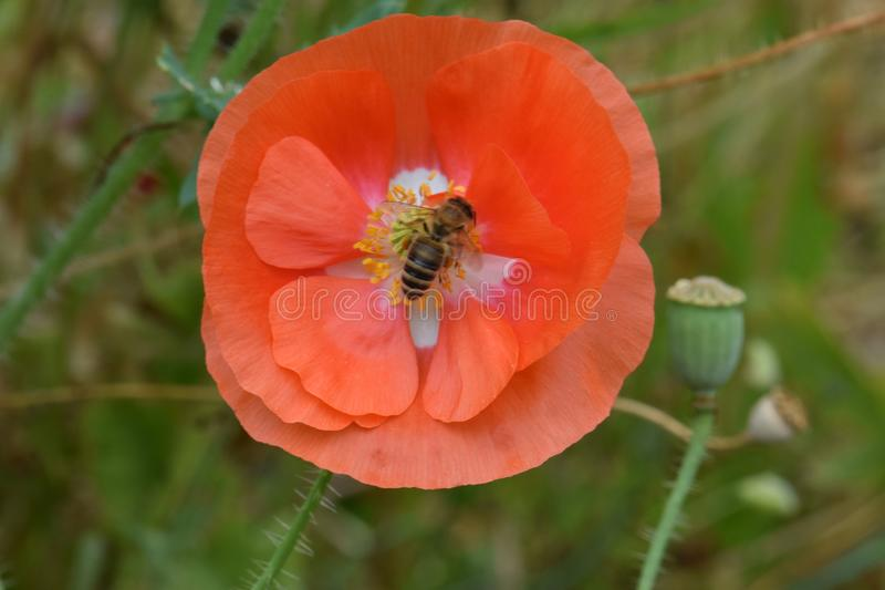 La abeja forrajea en la amapola anaranjada 07 de Flandes imágenes de archivo libres de regalías