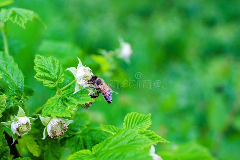 La abeja poliniza en la flor de la frambuesa, fondo de la naturaleza imagenes de archivo