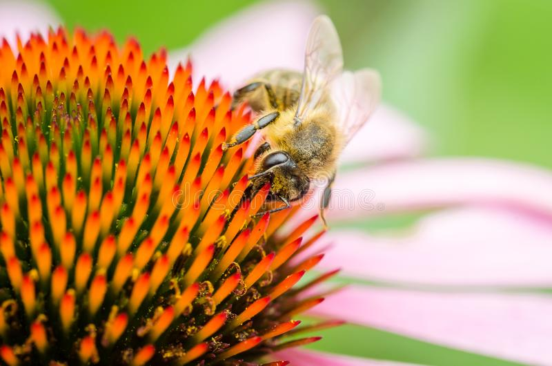la abeja poliniza purpurea/cierre del echinacea para arriba del pollinatin de la abeja foto de archivo