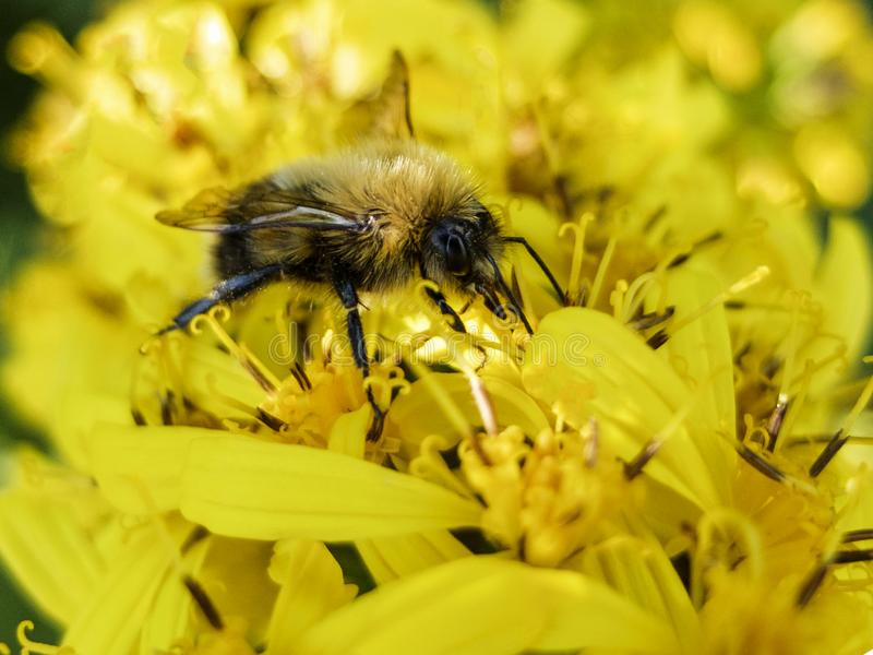 La abeja que se sienta en una flor amarilla y recoge macro del néctar foto de archivo