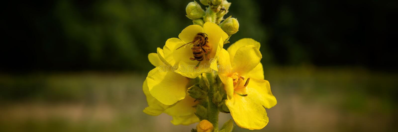 La abeja recoge el néctar de las flores del mullein en el prado imagen de archivo libre de regalías