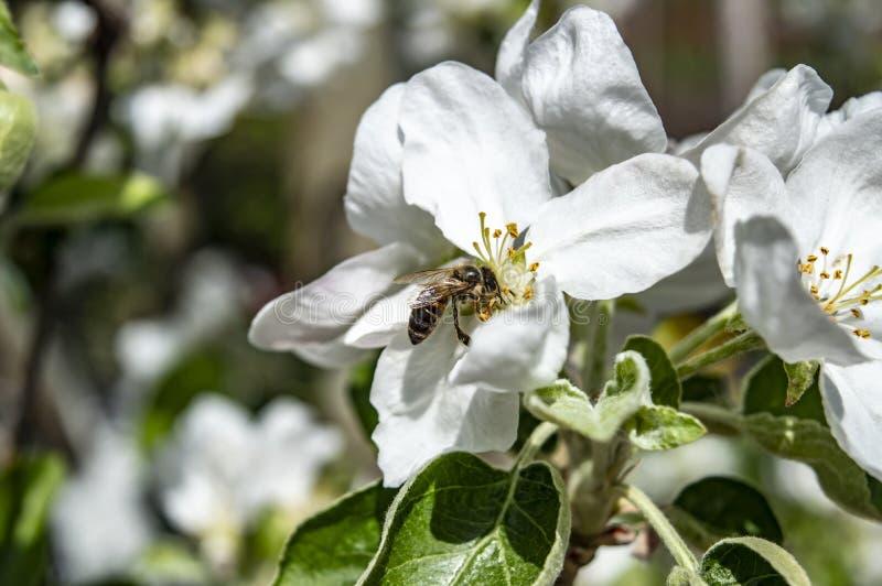 La abeja recoge el néctar en primer de los flores de la manzana imagenes de archivo