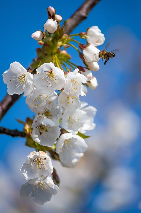 La abeja recoge el n?ctar de cerezas de florecimiento en la primavera Flores de la cereza contra la perspectiva del cielo azul de imagen de archivo