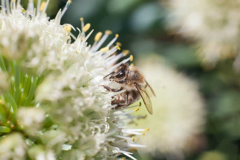 La abeja recoge el polen de una flor blanca floreciente del ajo fotografía de archivo