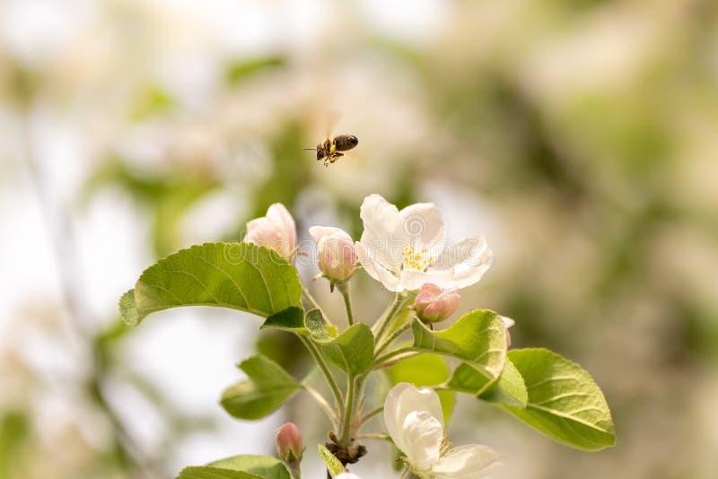 La abeja recoge la miel en el flor de la manzana - abeja delante del cielo azul imagenes de archivo