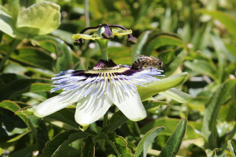 La abeja recolecta el polen fotografía de archivo