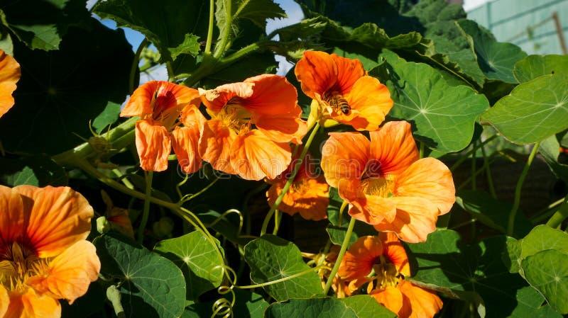 La abeja recolecta el polen de las flores anaranjadas foto de archivo