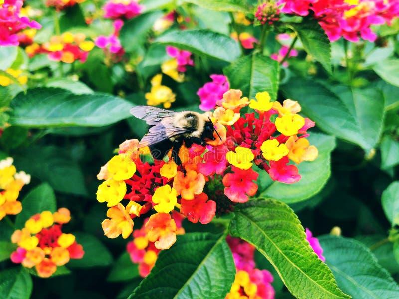 La abeja recolecta la miel de las flores coloridas florecientes del lantana fotos de archivo
