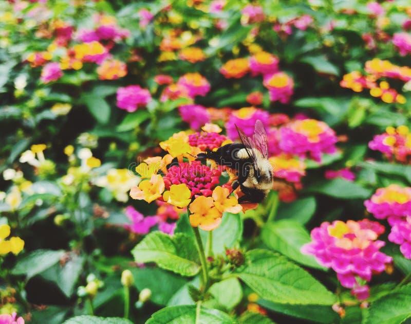 La abeja recolecta la miel de las flores coloridas florecientes del lantana foto de archivo libre de regalías