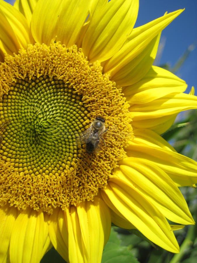 La abeja se est? sentando en el girasol Proteja del ambiente natural imagen de archivo