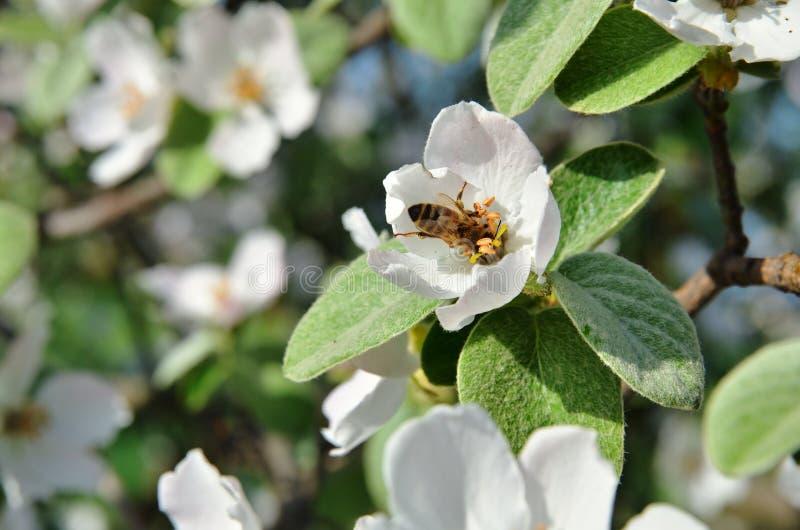La abeja se sienta en inflorescencia de la manzana imagenes de archivo