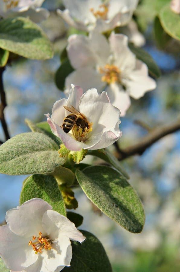 La abeja se sienta en la inflorescencia del árbol imagen de archivo