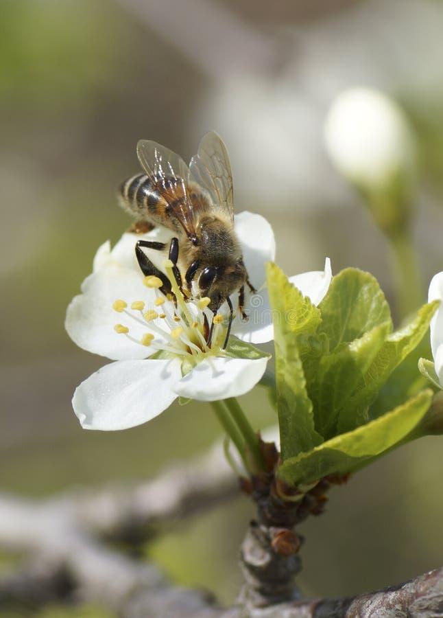La abeja se sienta en una flor blanca foto de archivo