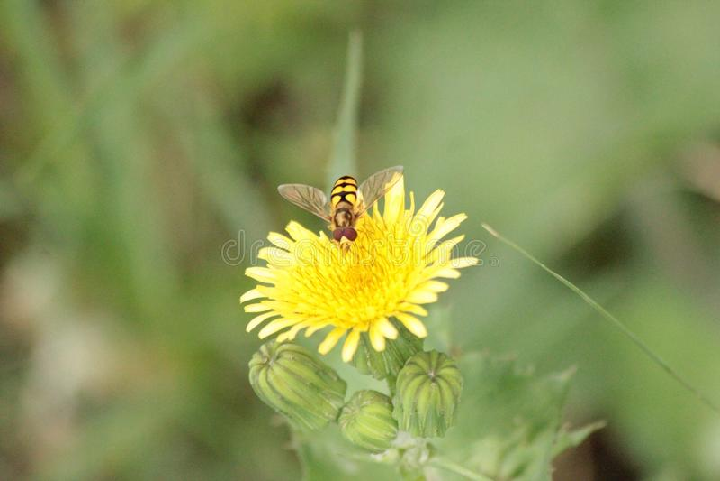 La abeja tenía un gran rato en la flor imágenes de archivo libres de regalías