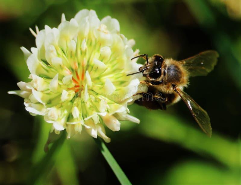 La abeja y la flor imagen de archivo libre de regalías