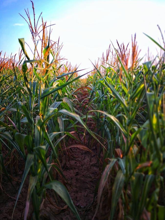 La abundancia de granos de la borla está creciendo en la planta de la fila en campo de fila del maíz imágenes de archivo libres de regalías
