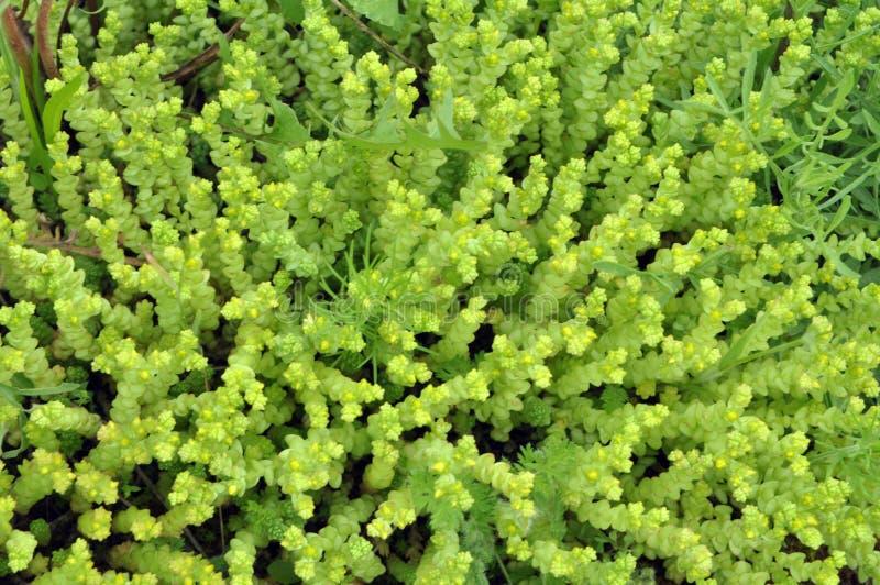 La acre de Stonecrop Sedum crece en el bosque imagen de archivo