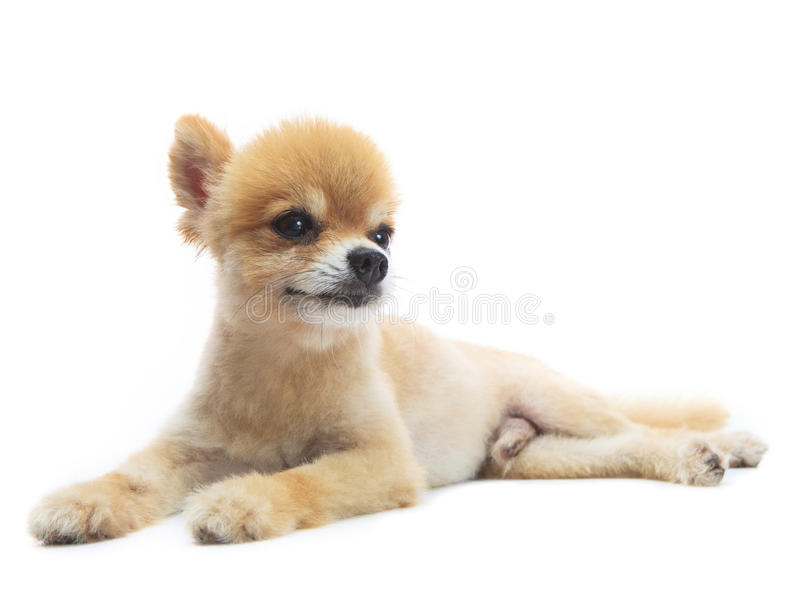 Download La Actuaci?n Preciosa Del Perro De Perrito Pomeranian Aisl? El Fondo Del Whtie Imagen de archivo - Imagen de siéntese, cara: 41917655