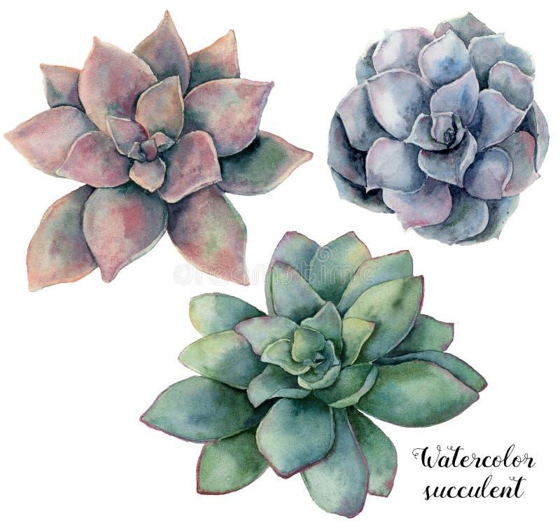 La acuarela fijó con el succulent violeta, rosado y verde Planta pintada a mano aislada en el fondo blanco Floral natural libre illustration