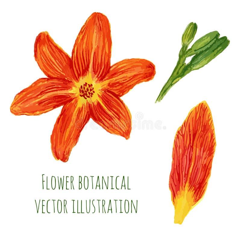La acuarela hermosa florece lirios anaranjados con los elementos de la planta Ejemplo botánico del vector libre illustration