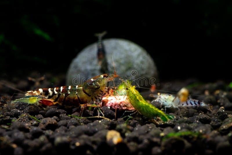 La afición del acuario del camarón de Tibee acaricia la naturaleza de agua dulce foto de archivo libre de regalías