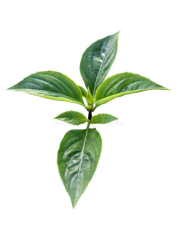 La albahaca dulce fresca verde hojea rama aislada en el fondo blanco foto de archivo