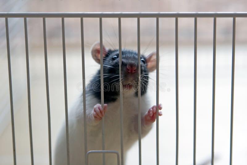 la Alcantarilla-rata casi tiene gusto de Remy imágenes de archivo libres de regalías