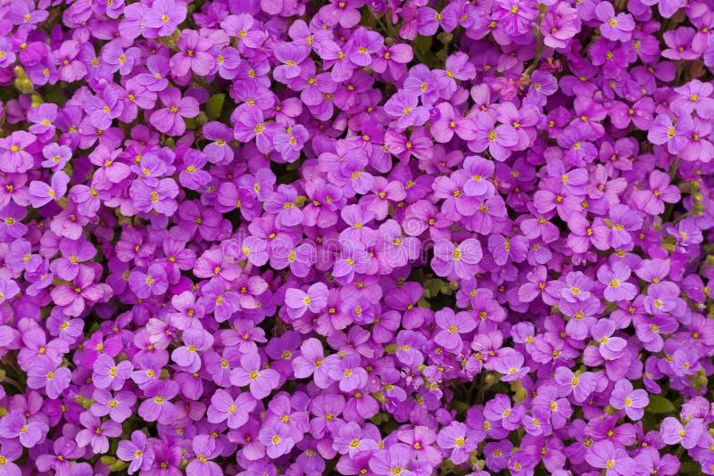 La alfombra de las flores p?rpuras rosadas del jard?n de Aubrieta de la primavera de Beautilul texturiza el fondo foto de archivo