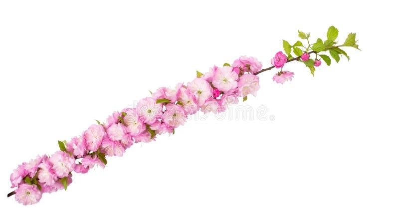 La almendra rosada florece en rama con las hojas verdes aisladas en el fondo blanco con la trayectoria de recortes diagonal fotos de archivo libres de regalías