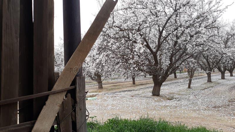 La almendra y su belleza del invierno fotos de archivo