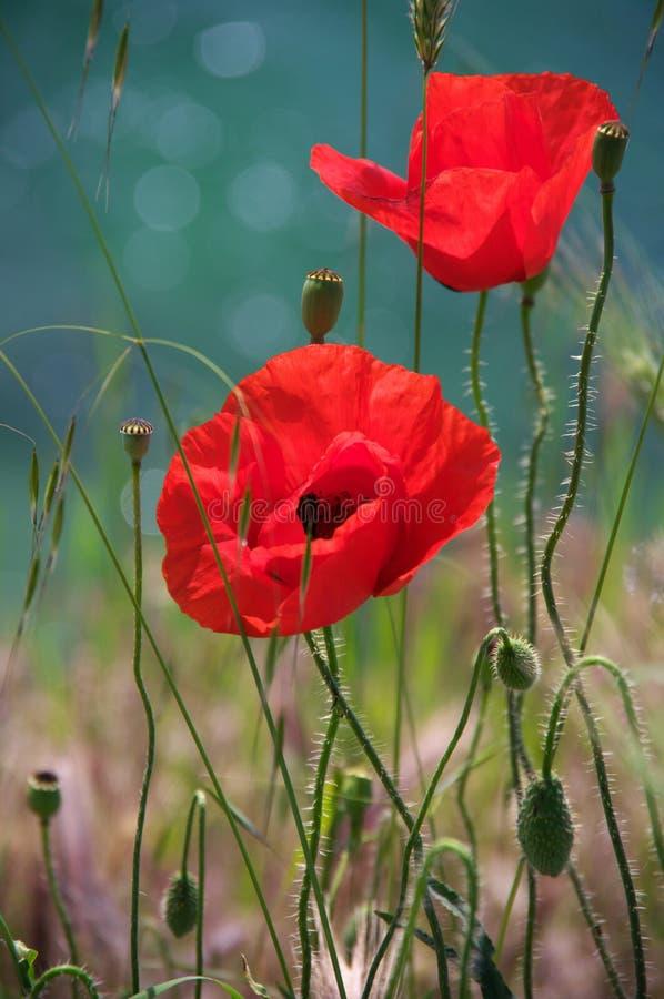 La amapola florece el primer imagen de archivo libre de regalías