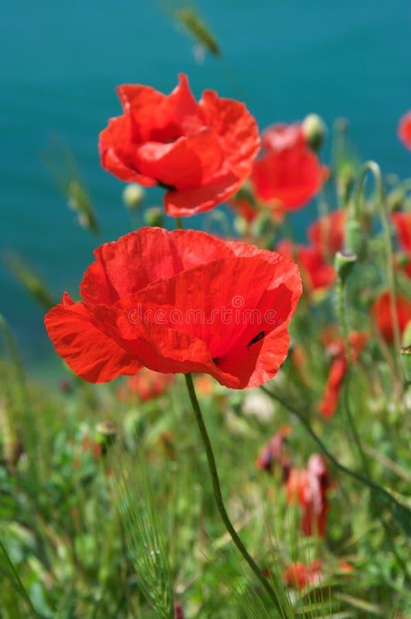 La amapola florece el primer imágenes de archivo libres de regalías