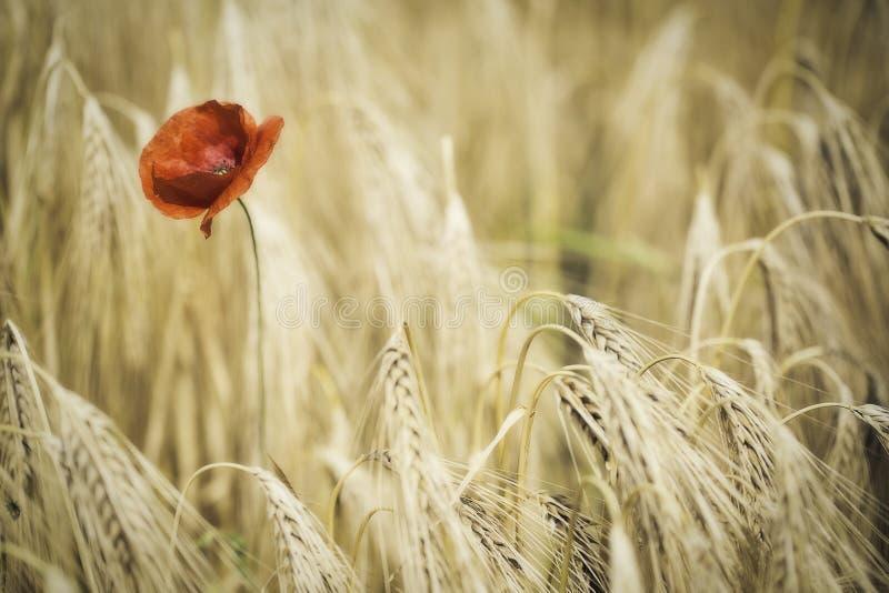 La amapola o el maíz roja subió imagenes de archivo