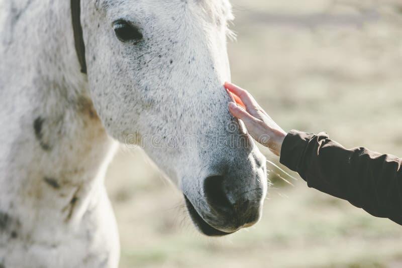 La amistad conmovedora del animal y de la gente de la forma de vida de la mano de la cabeza de caballo blanco viaja imagenes de archivo