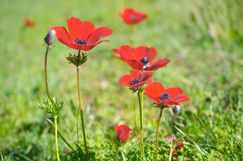 La anémona salvaje (windflower) florece la floración en el invierno israelí foto de archivo