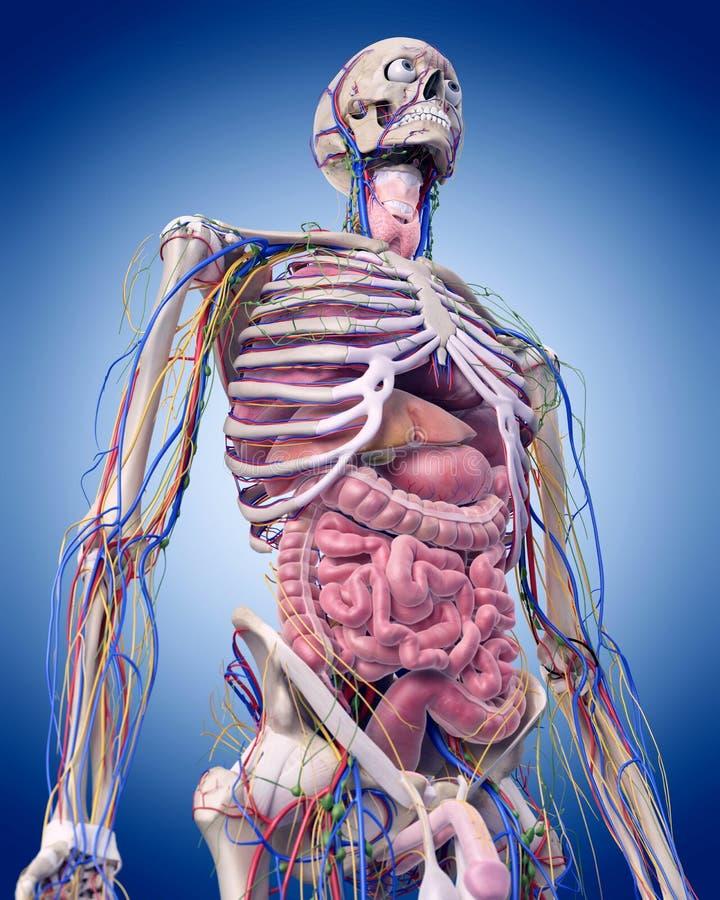 La anatomía abdominal stock de ilustración. Ilustración de sangre ...