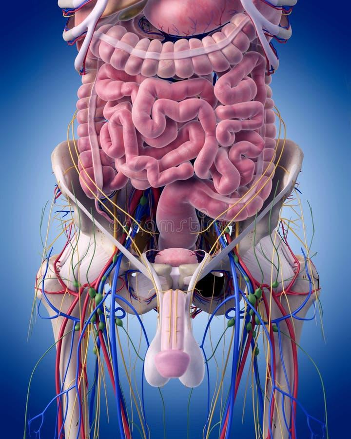 La anatomía abdominal stock de ilustración. Ilustración de colon ...