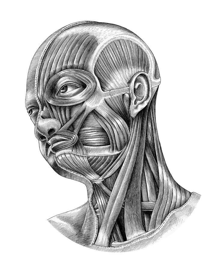 La anatomía de la cabeza humana y del cuello diagram el estilo i del vintage del ejemplo ilustración del vector