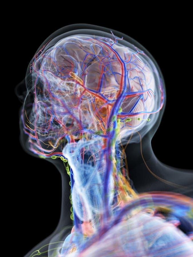 La anatomía de la cabeza y del cuello libre illustration