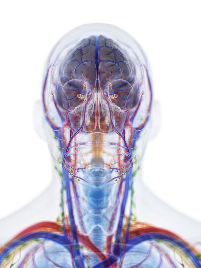 La anatomía de la cabeza y del cuello ilustración del vector