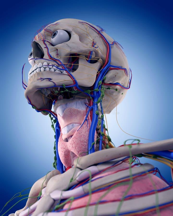 La anatomía de la garganta stock de ilustración. Ilustración de ...
