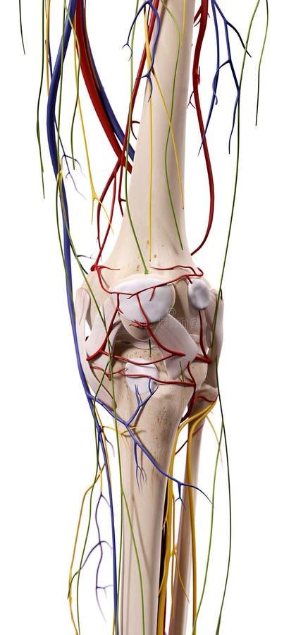 La anatomía de la rodilla stock de ilustración