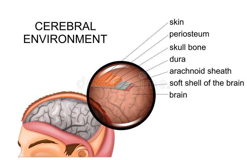 La anatomía de los meninges stock de ilustración