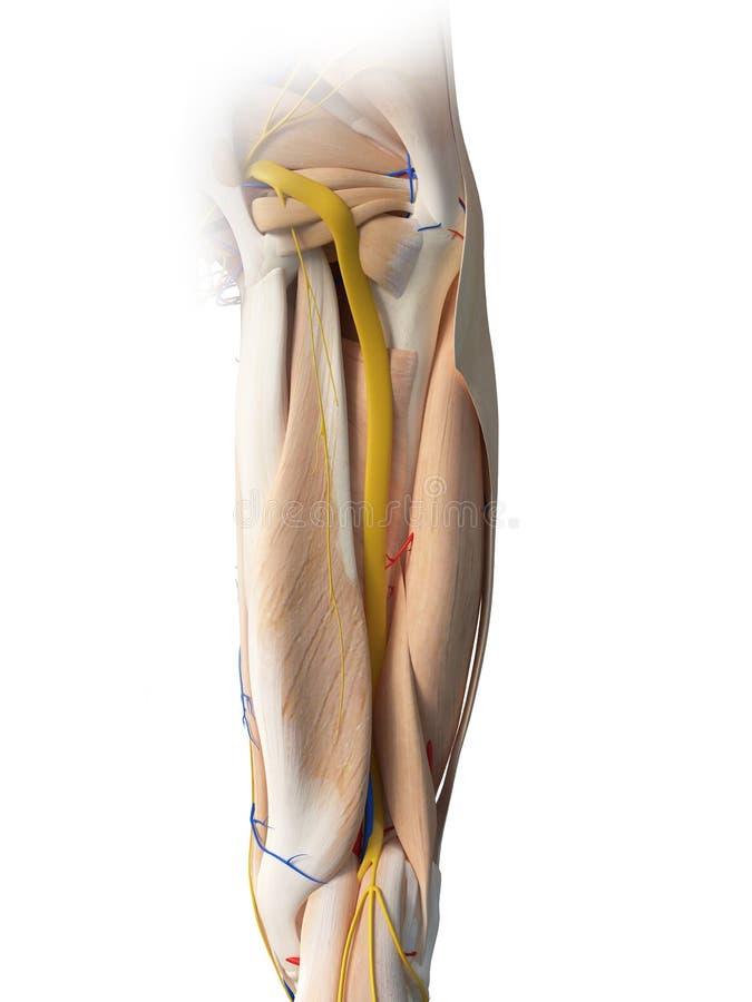 La anatomía de la pierna libre illustration