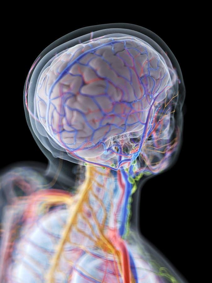 La anatomía del cerebro humano stock de ilustración