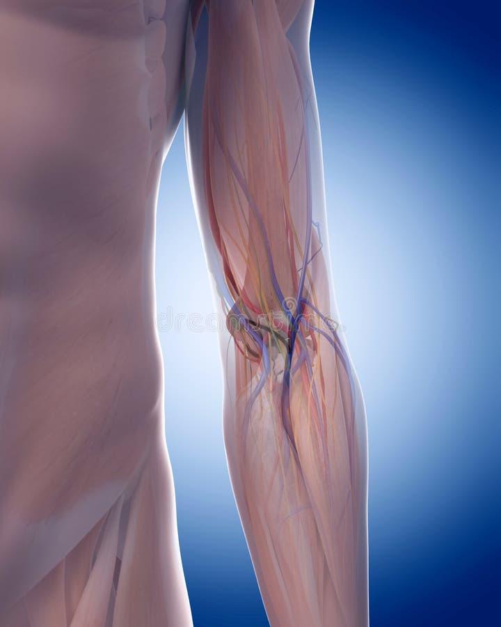 La anatomía del codo libre illustration